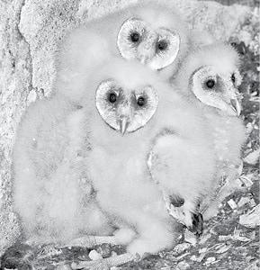 Tyto alba at Chwasczinski farm - Barn owl BW.jpg