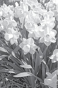 daffodil - Pay Day photo BW.jpg