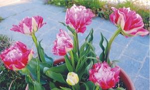 Tulips 1 C.jpg