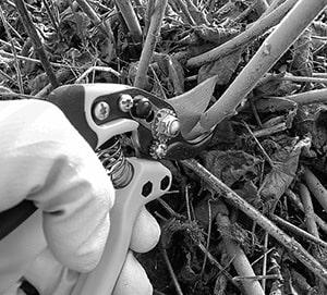 Pruning BW.jpg