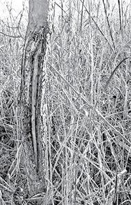 Deer Damage 1 BW.jpg