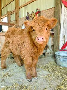 Cow 1 C