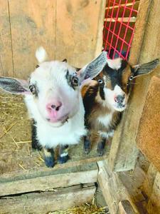 Goat 2 C