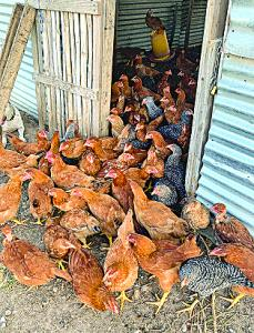 Organic Poultry C